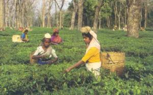 Harvesting Tea in Assam