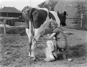 Beautiful Woman Milking Cow