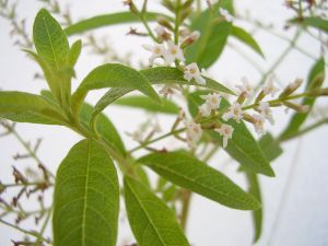 Flowering Lemon Verbena