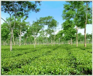 One of the many McLeod Russel tea gardens