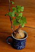 Sweet potato growing in a mug