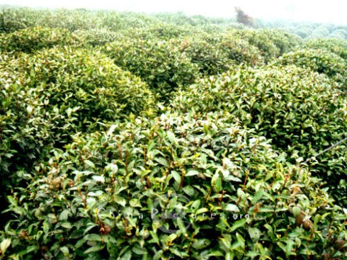 Tea trees awaiting harvest