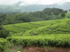 Verdant tea fields