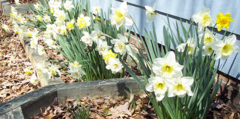 Plant the bulbs in Winter for blooms like this in Spring