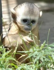 Monkey picking tea?