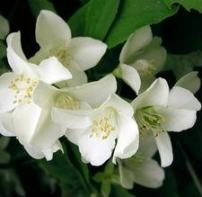 Jasmine Blooms (Photo by Maria Brzostowska from Fotolia.com)