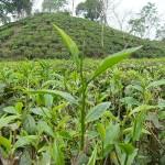 Ah! Tea leaves in the field