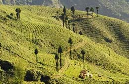 Tea Estates in Darjeeling