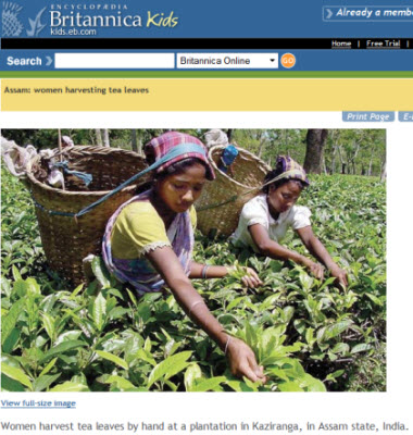 Hand harvesting in Assam India (Photo source: screen capture from site)