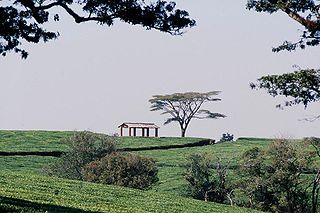Malawi Tea Estate (Photo source: Wikipedia)