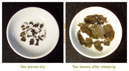 "A popular Chinese oolong Tie Kuan Yin ""Iron Goddess of Mercy"" has the typical large leaves. (Photo source: A.C. Cargill, all rights reserved)"
