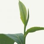 Tea leaves (Photo source: stock image)