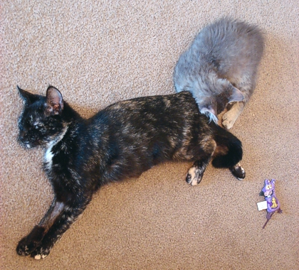 Lira and Ashley. He likes to sleep curled up next to Mom when there's no teapot available. (Lira had just been spayed when this photo was taken, so her leg is partially shaved.) (Photo source: article author)