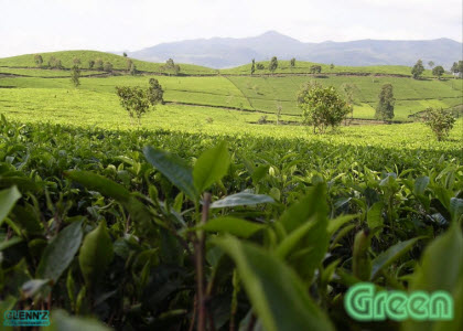 Natural shade over a tea garden, no cloth needed. (Photo source: Yahoo! images)