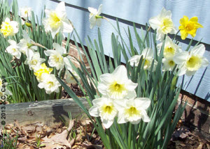 Daffodils or other fresh Springtime flowers are essential! (Photo source: A.C. Cargill, all rights reserved)