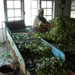 Processing the harvested leaves (Stock image)