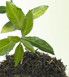 Tea plant (stock image)