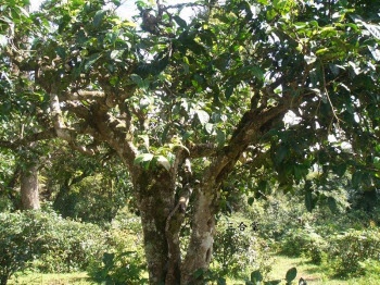 A tea tree claimed to be a hundred years old - just a baby in the lifetime of tea!