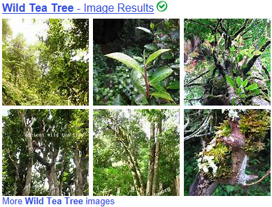 "Supposed ""wild"" tea trees. (From Yahoo! Images)"