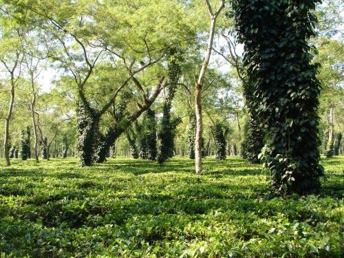 Sikkim tea garden (Stock image)