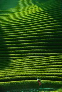 Tea plantation in Kyoto Japan (source unknown)