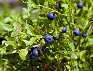 huckleberry-plant